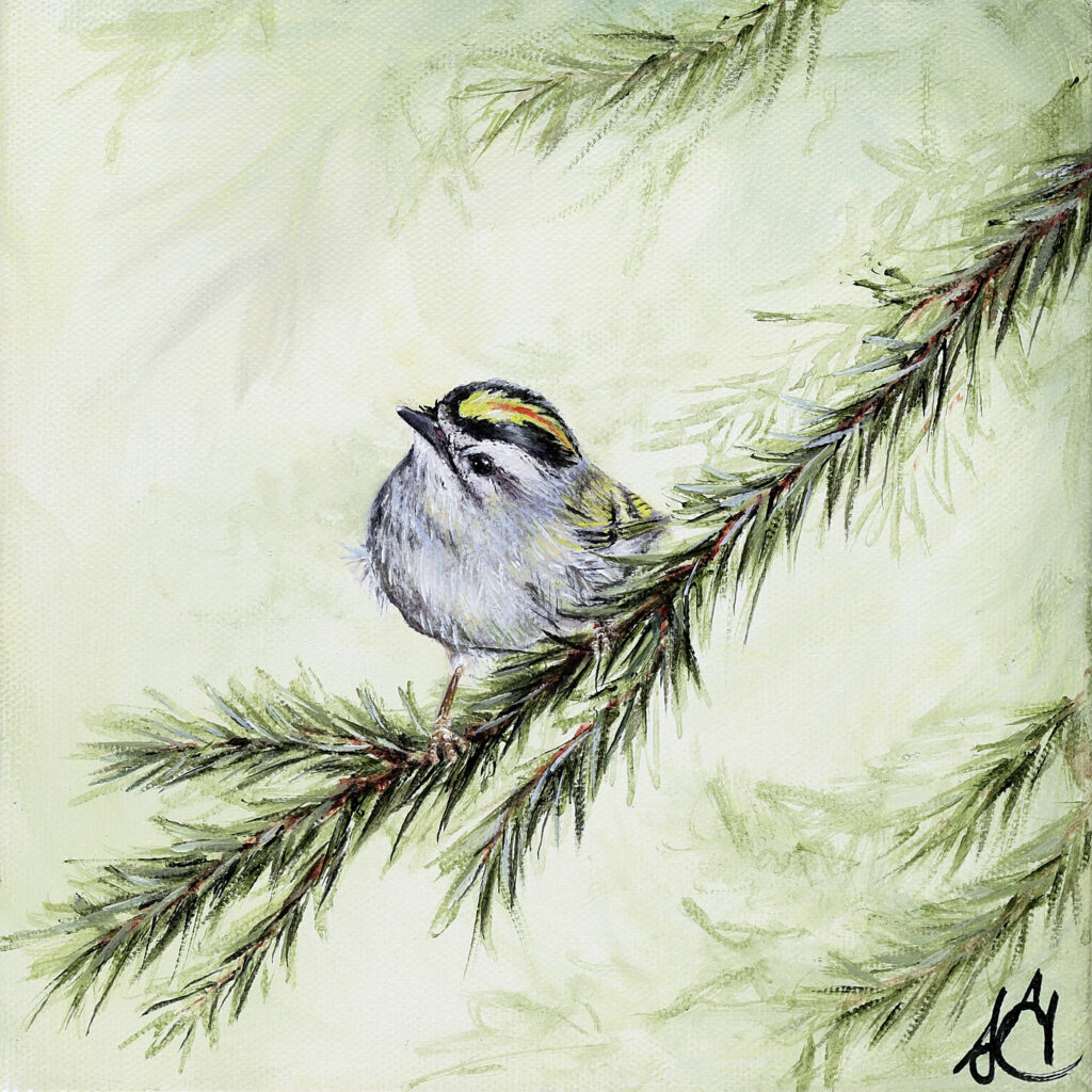 Male golden-crowned kinglet perched on pine bough.